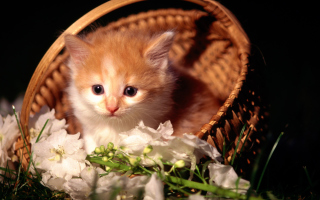 Cute Kitten in a Basket Picture for Android, iPhone and iPad