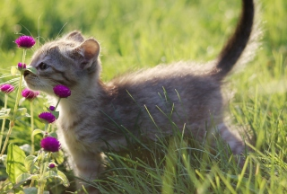 Small Kitten Smelling Flowers Wallpaper for Android, iPhone and iPad
