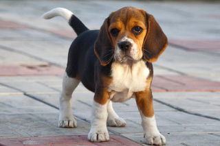 Beagle Wallpaper for Android, iPhone and iPad