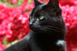 Free Black Cat Picture for Android, iPhone and iPad