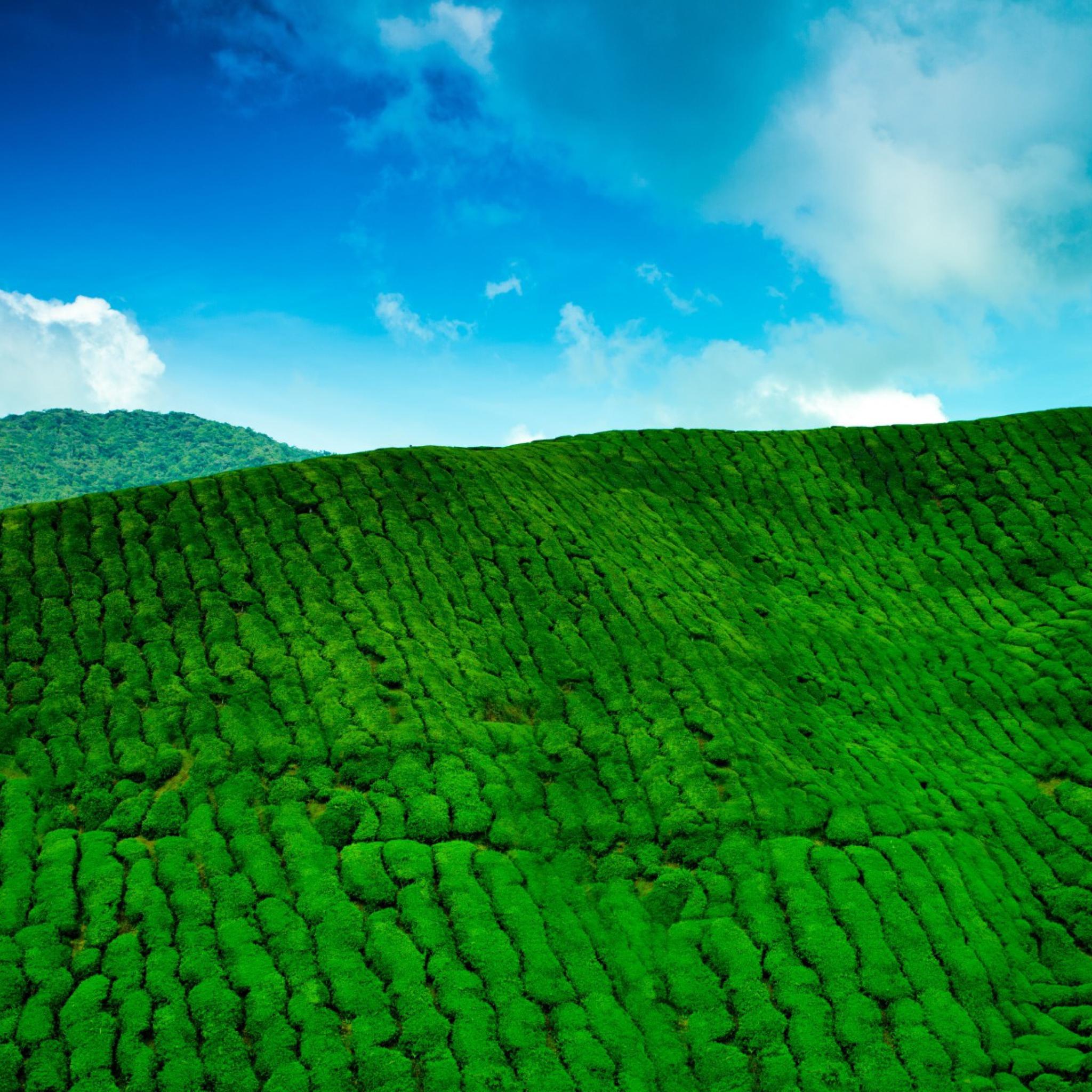 холмы плантации скачать