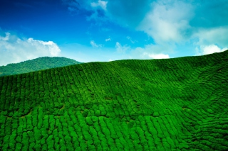 Tea Hills Background for Desktop Netbook 1024x600
