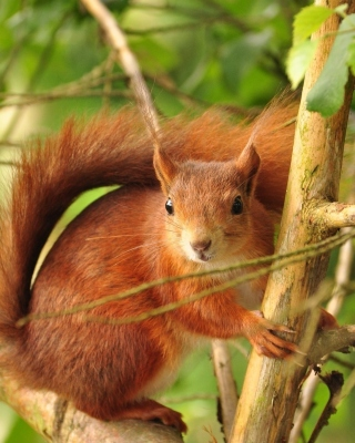 Free Fluffy animal squirrel Picture for Nokia Asha 306