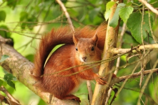 Free Fluffy animal squirrel Picture for Android, iPhone and iPad