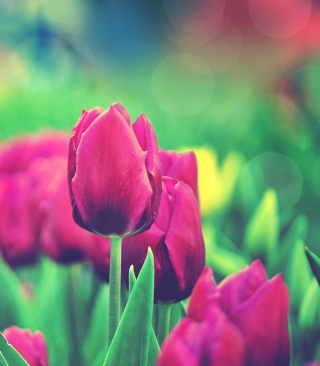 Bright Pink Tulips In Garden Picture for iPhone 6