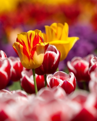 Tulips Field Canada Butchart Gardens Wallpaper for Nokia Asha 300