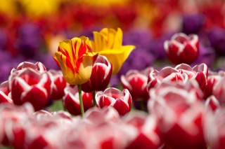 Tulips Field Canada Butchart Gardens Wallpaper for Android, iPhone and iPad