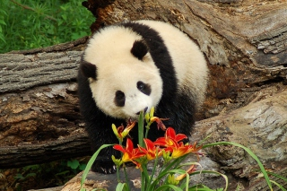 Free Panda Smelling Flowers Picture for Android, iPhone and iPad
