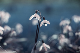 First Spring Flowers Snowdrops Picture for Android, iPhone and iPad