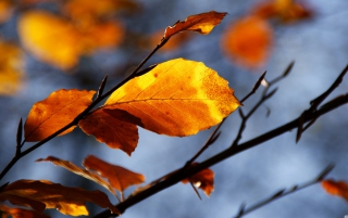 Golden Leaves sfondi gratuiti per cellulari Android, iPhone, iPad e desktop