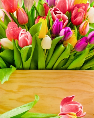Bunch of tulips Background for Nokia Asha 310