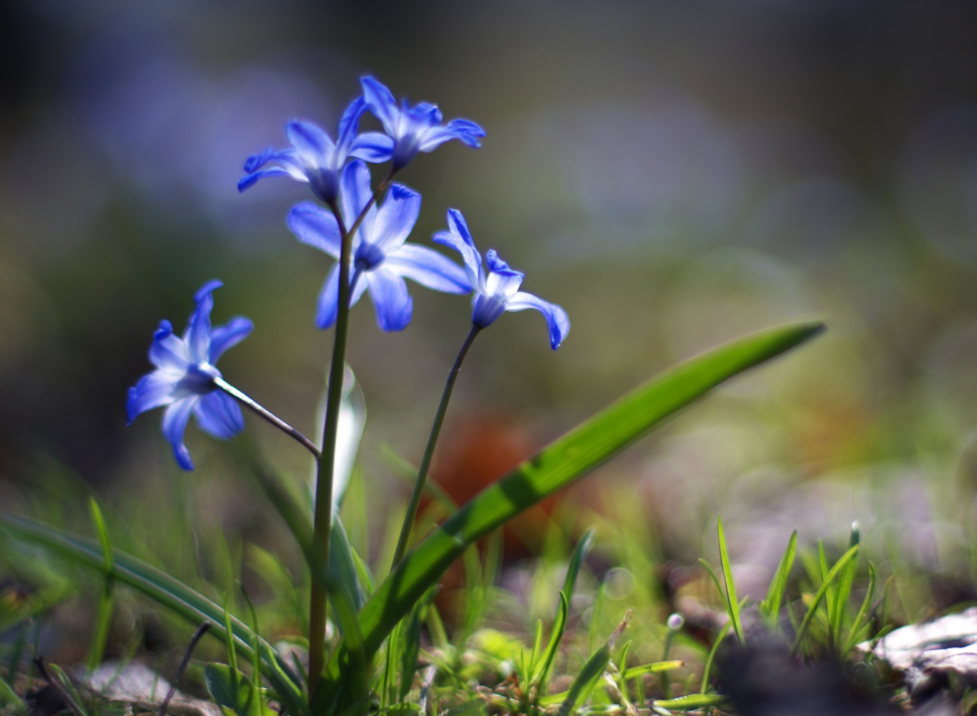 Чистяк весенний цветок загрузить