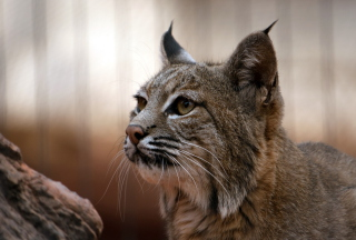 Free Lynx Picture for Android, iPhone and iPad