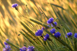 Cornflowers Background for Android, iPhone and iPad