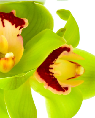 Cymbidium or Boat Orchid Background for HTC Titan