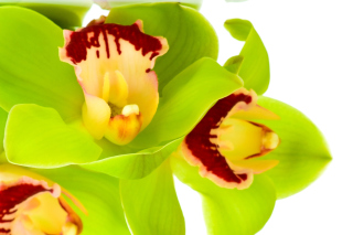 Free Cymbidium or Boat Orchid Picture for Android, iPhone and iPad