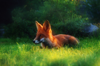 Bright Red Fox In Green Grass Background for Android, iPhone and iPad