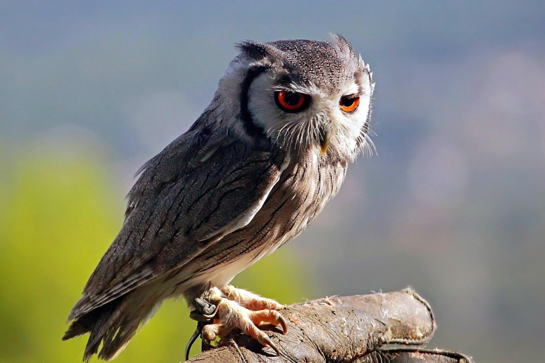 испуганная сова бесплатно