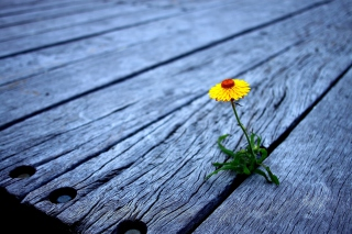 Little Yellow Flower On Wooden Planks - Obrázkek zdarma