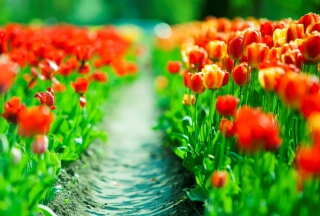 Red Tulip Field sfondi gratuiti per cellulari Android, iPhone, iPad e desktop