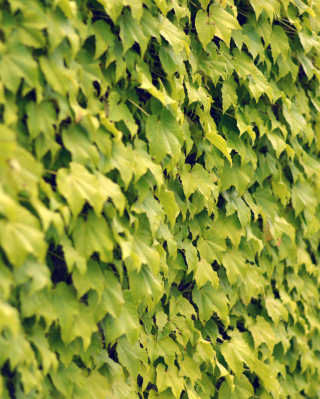 Ivy Wall Summer Wallpaper for HTC Titan