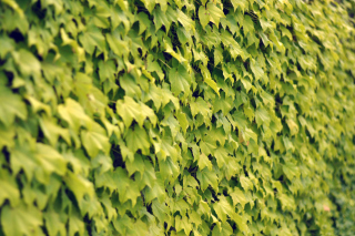 Free Ivy Wall Summer Picture for Android, iPhone and iPad