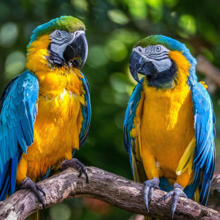 Blue and Yellow Macaw Spot sfondi gratuiti per iPad mini