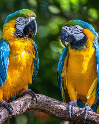 Blue and Yellow Macaw Spot papel de parede para celular para iPhone 4S