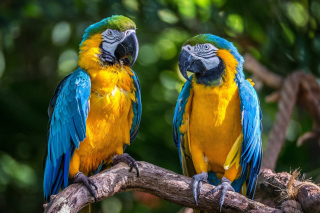 Blue and Yellow Macaw Spot Picture for Android, iPhone and iPad