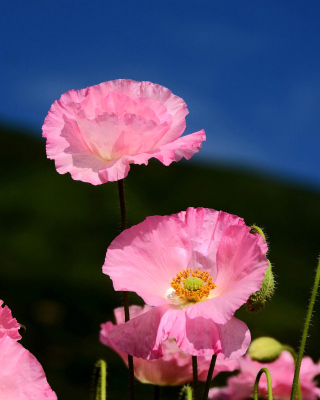 Pink Poppies Field Wallpaper for 240x320