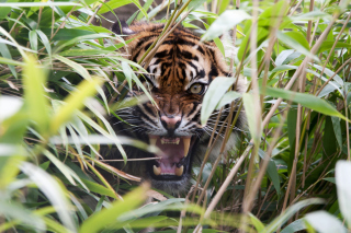 Tiger Hiding Behind Green Grass sfondi gratuiti per cellulari Android, iPhone, iPad e desktop