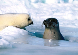 Free Seal Wallpaper Picture for Android, iPhone and iPad
