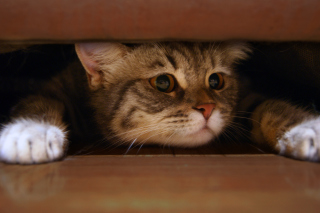 Cat Under Bed sfondi gratuiti per Samsung S5570i Galaxy Pop Plus