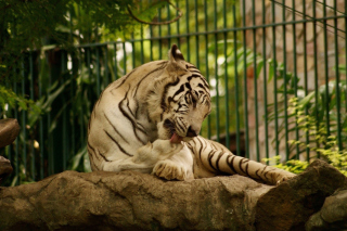 White Tiger in Zoo Background for Android, iPhone and iPad