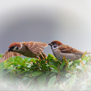 Sparrow couple Picture for iPad