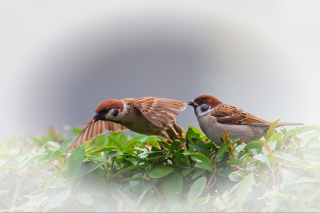 Free Sparrow couple Picture for Sony Xperia Z1