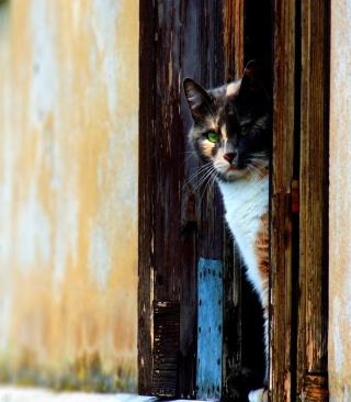 Cat Looking From Door Background for Nokia Asha 310