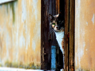 Cat Looking From Door Wallpaper for Android, iPhone and iPad