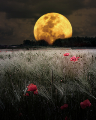 Night Poppies Field Picture for 240x320