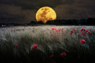 Kostenloses Night Poppies Field Wallpaper für Android, iPhone und iPad