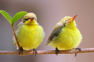 Yellow Small Birds Picture for Android, iPhone and iPad