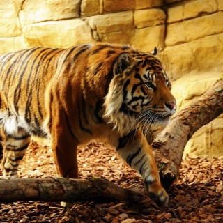 Tiger Huge Animal sfondi gratuiti per iPad mini