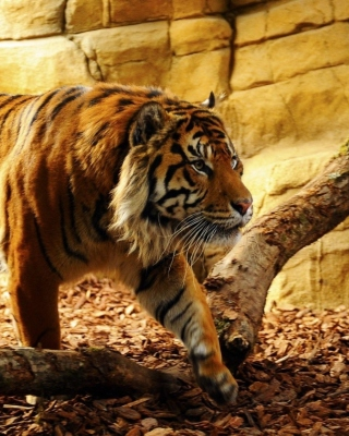 Tiger Huge Animal Background for Nokia Asha 306
