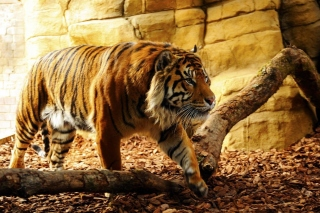 Tiger Huge Animal sfondi gratuiti per Samsung Galaxy Ace 3