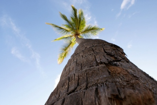 Free Palm Tree Picture for Android, iPhone and iPad