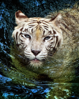 Big Tiger sfondi gratuiti per iPhone 4S