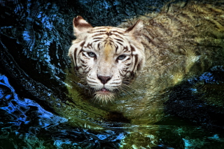 Big Tiger Wallpaper for Android, iPhone and iPad