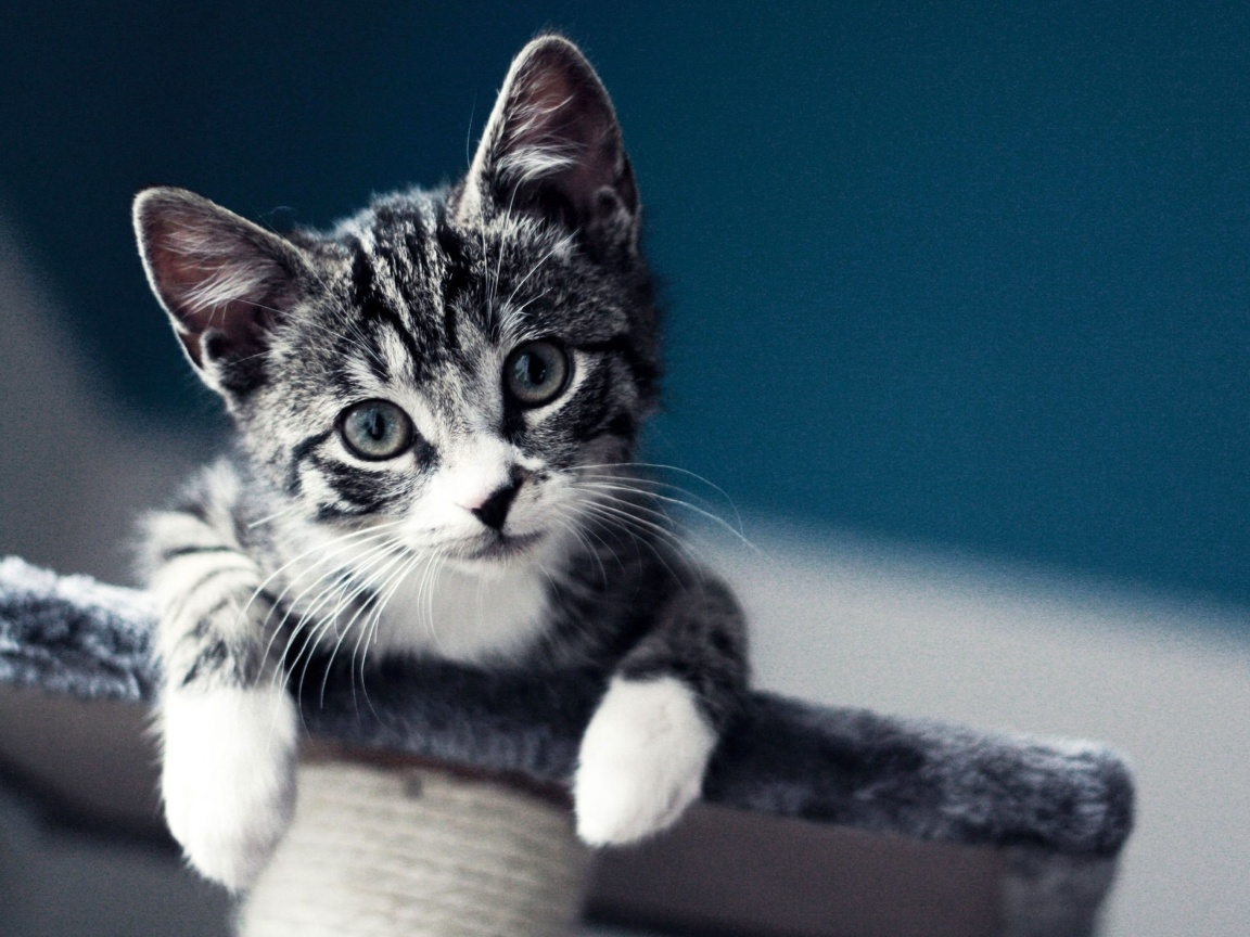 Das Domestic Kitten Wallpaper 1152x864