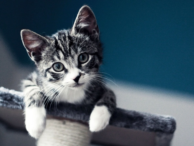 Domestic Kitten wallpaper 640x480