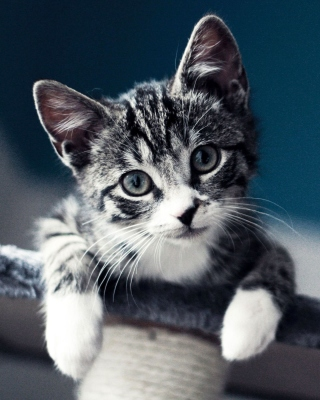Domestic Kitten Background for HTC Titan